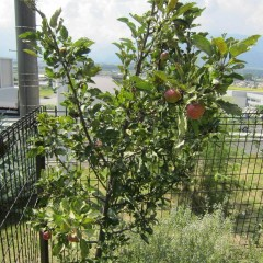 姫リンゴのアルプス乙女