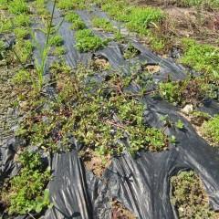 ローズ畑やラベンダー畑の除草をしている間に