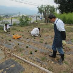 カモマイル・ローマンはポット苗を定植しました