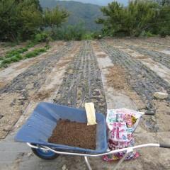 農場でも畑に直播きしました