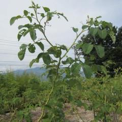 切った枝先の上から2~4番目の芽が伸びています