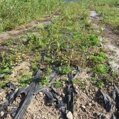 またもや農場の畑は3回目の除草作業