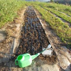 草が出る前にカモマイル・ジャーマンの種を蒔きました
