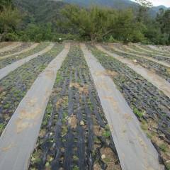 農場のジャーマン・カモマイル畑