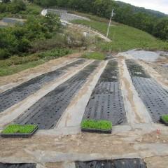 カモマイル・ジャーマンの苗を定植します