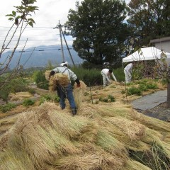 事務局前の畑に稲ワラを敷きます