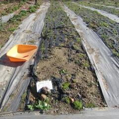 カモマイル・ジャーマンの苗を傷つけないように除草します