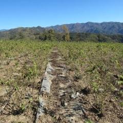除草と仮剪定が進みスッキリしたローズ畑
