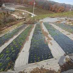 定植した畑