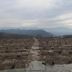 剪定枝の片付けが終わったローズ畑
