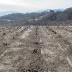 スッキリと襟を正したローズ畑です