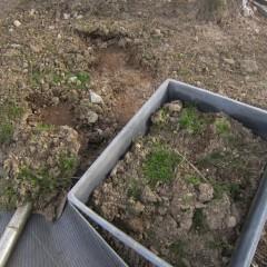 根を切らないように掘り採ります