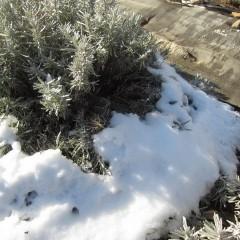 雪の重みで長い枝が地面に押し付けられています
