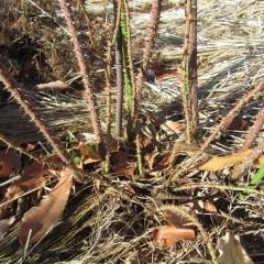 秋に出て来た細いシュートや古い枝を切り取ります