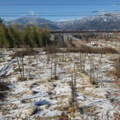 昨日の雪がまだ残っているローズ畑