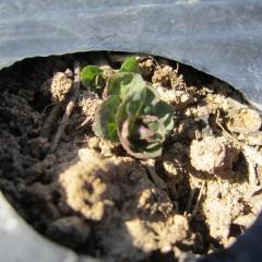 ペパーミントの新芽
