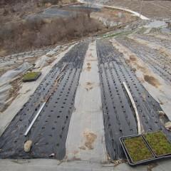 マルチを張り替えたカモマイル・ジャーマン畑