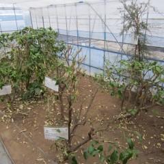 厳しい冬を耐えた柑橘