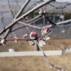 アーモンドの蕾の先からはピンクの花びらが覗いています