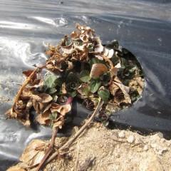 ペパーミントは所狭しと芽が出ています