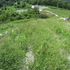 梅雨が明けたら連日の猛暑、カモマイル・ジャーマン畑の雑草もご覧の通り