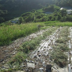 最高気温36℃の中、除草作業は続きます