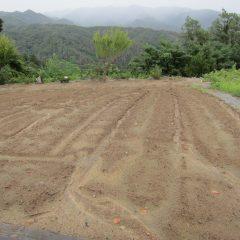 カモマイル・ジャーマン畑の表土が雨で流されているのが心配です