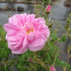 咲き始めたローズに冷たい雨が・・・・・