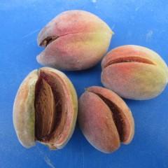 果肉は薄く5mmほどしかありませんが桃の様な甘い香りがします