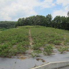 ローズ畑の除草作業が続いています