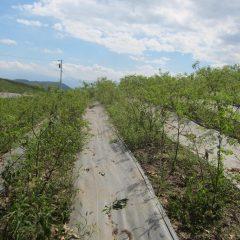 これから除草作業をするローズ畑