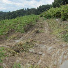 背丈ほどに伸びてしまった雑草を除草したローズ畑