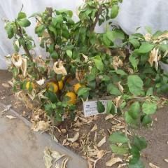 温暖な気候を好む柑橘には厳しい冬でした