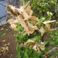 寒さに耐えきれず枯れてしまったレモンの葉