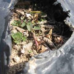 農場のペパーミントも新芽が出て来ました