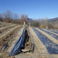 ローズ畑では雑草対策作業中