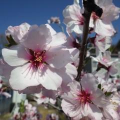 アーモンドの花が満開になりました
