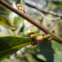 ローレルにも花芽が出来ています