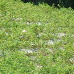 ローズ畑の中を這う様にして除草しています