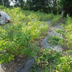そして日が傾くまで除草作業が行われています