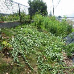 背の高さまで伸びた雑草は根も張って除草も一苦労