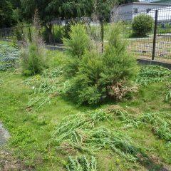 焼ける様な暑さで掘り取られた雑草はたちまちしおれてシオシオのパー!