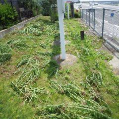 事務局の周りの除草は終了!  明日からまた農場の除草作業に励みます