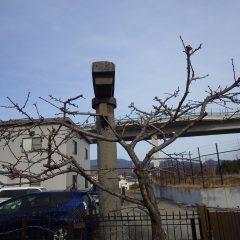 重なった枝を切って満遍なく光が当たるようにしました