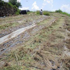 甲府は35℃を超える猛暑日を記録、抜いた草も直ぐに干し草状態になってしまいます