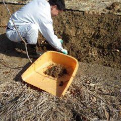 根茎で蔓延る雑草の根茎を取り除きます