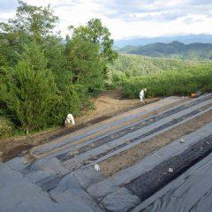 来年の為にカモマイル・ジャーマンの畑を新しく作っています