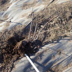 なるべく根を傷めないよう掘り起こします