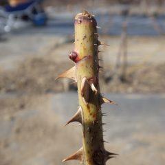 農場のローズはまだ芽に動きは無いようです