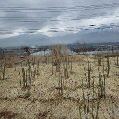 事務局前のローズ畑